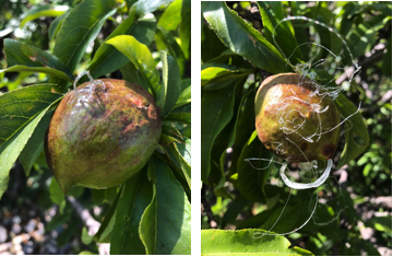 Nectarine Diseases Pictures