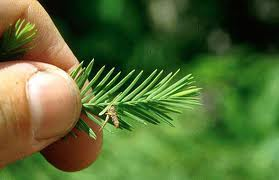 Image of bagworm on pine tree.